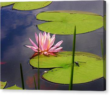 Pink Water Lily And Dragonfly Canvas Print by Sherman Perry