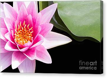 Pink Water Lily And Pad Canvas Print by Rebecca Cozart
