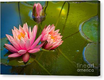 Pink Water Lily Canvas Print by Inge Johnsson
