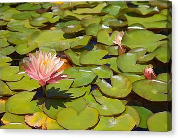 Pink Waterlilies In Koi Pond Canvas Print by Cliff Wassmann