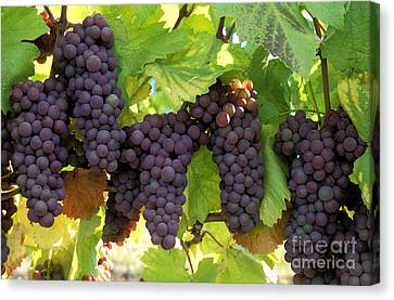 Pinot Gris Grapes Canvas Print by Kevin Miller