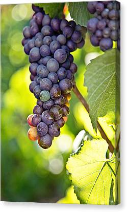 Pinot Noir Canvas Print by Scott Pellegrin