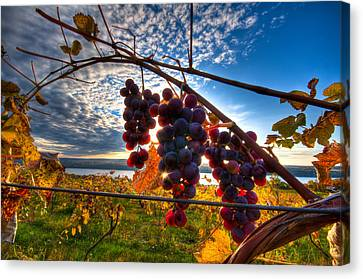 Pinot On The Vine Canvas Print by Walter Arnold