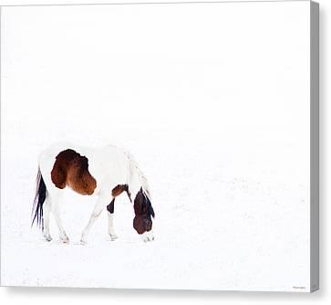 Pinto Pony Canvas Print by Theresa Tahara