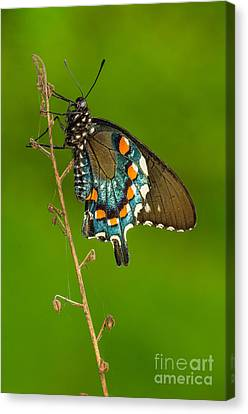 Pipevine Swallowtail Canvas Print by Anthony Heflin