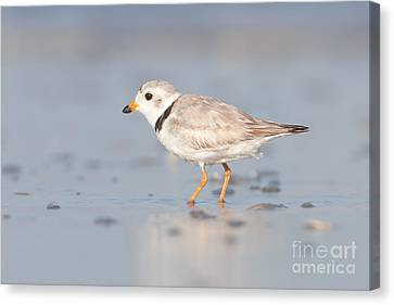Piping Plover II Canvas Print by Clarence Holmes