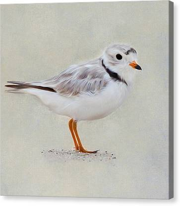 Piping Plover Square Canvas Print by Bill Wakeley
