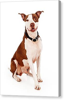 Pit Bull Dog With Happy Expression Canvas Print by Susan  Schmitz