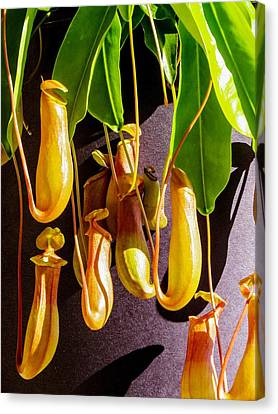 Pitcher Plant Canvas Print by Zina Stromberg