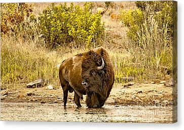 Plains Buffalo At Creekside Canvas Print by Robert Frederick