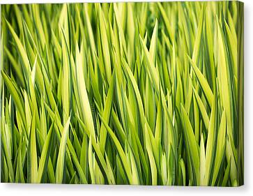 Plant Abstract 1 Canvas Print by Rebecca Cozart