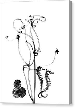 Plant Tendrils And Seahorses Canvas Print by Albert Koetsier X-ray