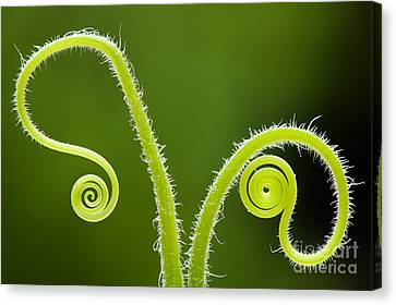 Plant Tendrils Canvas Print by Tim Gainey