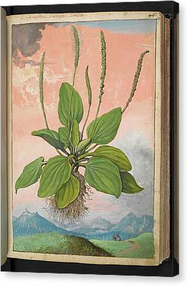 Plantain (plantago Major) Canvas Print by British Library
