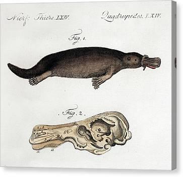 Platypus Anatomy (blumenbach) Canvas Print by Paul D Stewart