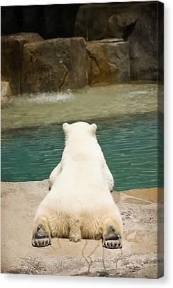 Playful Polar Bear Canvas Print by Adam Romanowicz