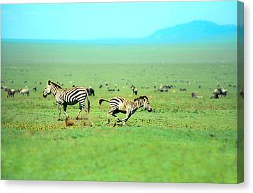 Playfull Zebras Canvas Print by Sebastian Musial