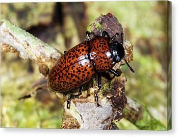 Pleasing Fungus Beetle Canvas Print by Dr Morley Read