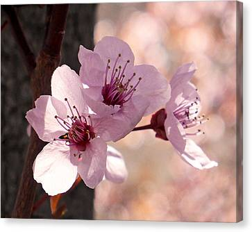 Plum Blossoms Canvas Print by Rona Black