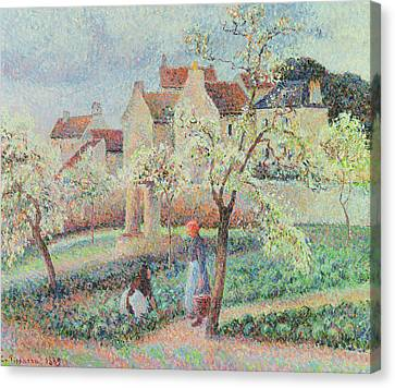 Plum Trees In Flower Canvas Print by Camille Pissarro