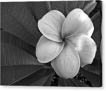 Plumeria With Raindrops Canvas Print by Shane Kelly