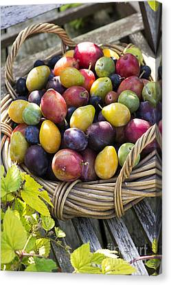 Plums In A Basket Canvas Print by Tim Gainey