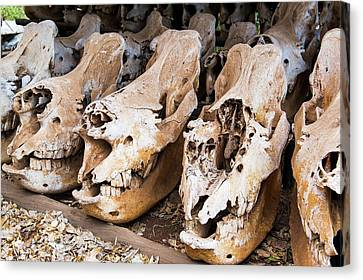 Poached Rhino Skulls Display Canvas Print by Peter Chadwick