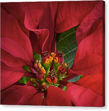 Poinsettia Canvas Print by Barbara Smith