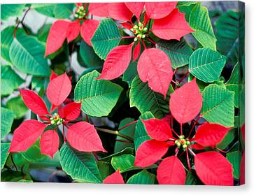 Poinsettia Flowers Canvas Print by Anonymous