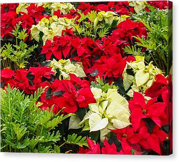 Poinsettia Canvas Print by Zina Stromberg