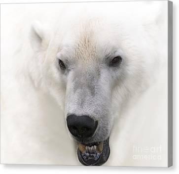 Polar Bear Portrait Canvas Print by Heiko Koehrer-Wagner
