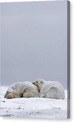 Polar Bear Sow With Cub Resting Canvas Print by Steven Kazlowski