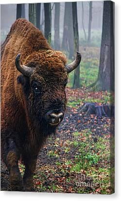 Polish Bison Canvas Print by Mariola Bitner