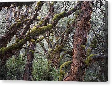 Polylepis Forest Cordillera Blanca Peru Canvas Print by Cyril Ruoso
