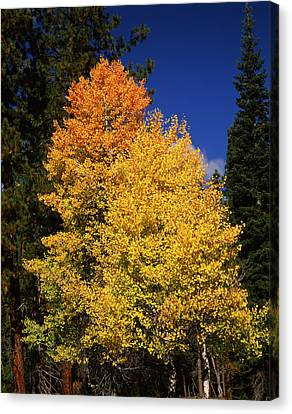 Ponderosa Pine With Aspen And Fir Trees Canvas Print by Panoramic Images