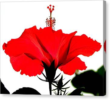 Pop Of Red Canvas Print by Ramona Johnston