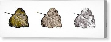 Poplar Leaf Fade To Black And White Canvas Print by Greg Jackson