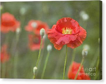 Poppies In Still Wind Canvas Print by Elena Nosyreva