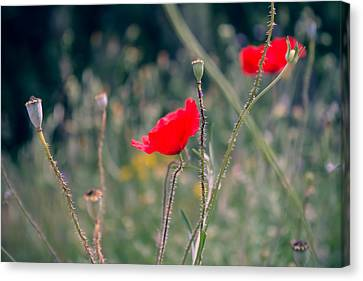 Poppies Canvas Print by Jane M