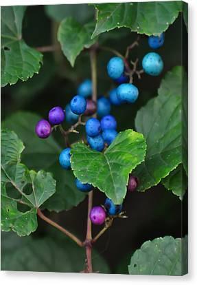 Porcelain Berries On A Vine Canvas Print by Chris Flees