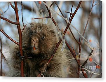Porcupine And Berries Canvas Print by Marty Fancy