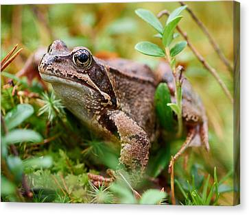 Portrait Of A Frog Canvas Print by Jouko Lehto