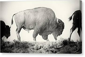 Portrait Of A Yellowstone Bison Canvas Print by Shane Linke