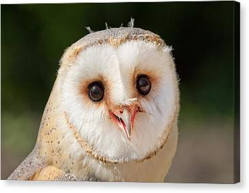 Portrait Of A Young Barn Owl Canvas Print by Roeselien Raimond