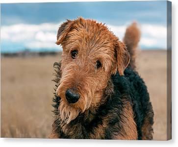 Portrait Of An Airedale Terrier (mr & Pr Canvas Print by Zandria Muench Beraldo