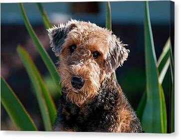 Portrait Of An Airedale Terrier Canvas Print by Zandria Muench Beraldo