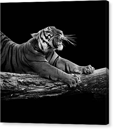 Portrait Of Tiger In Black And White Canvas Print by Lukas Holas
