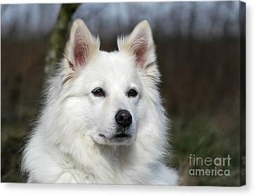 Portrait White Samoyed Dog Canvas Print by Dog Photos