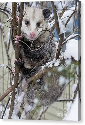 Possum Canvas Print by Steven Ralser