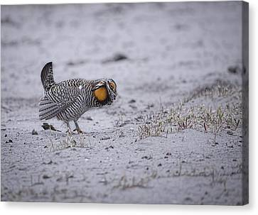 Prairie Chicken 2013-2 Canvas Print by Thomas Young